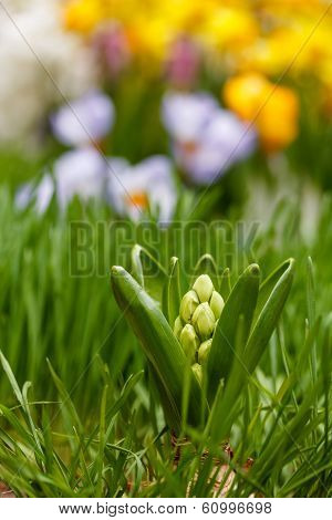 White Hyacinth Bud