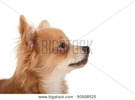 Long Haired Chihuahua Puppy Dog Portrait