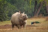 picture of greater  - Greater indian rhinoceros  - JPG