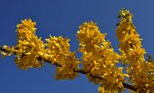 Yellow Forsythia