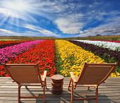 Very beautiful bright multi-colored flower fields. Commercial cultivation of flowers for sale abroad