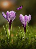 picture of early spring  - Crocus flower bloom in sunset early spring - JPG