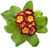 Spring flower primrose primula  in flowerpot close up macro isolated on white