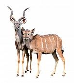 picture of greater  - greater kudu isolated on a white background - JPG