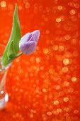 Tulip  Spring flower in glass on red sparkle background, super shallow dof