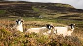 A trio of curious sheep in the Highlands of Scotland, UK