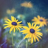 Artistic black eyed susans in the garden with a vintage texture overlay