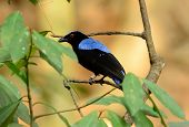 foto of bluebird  - beautiful male Asian Fairy Bluebird  - JPG