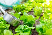 Fertilizer of lettuce