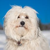 Portrait Of A Havanese
