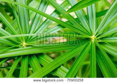 Umbrella Plant,cyperaceae,papyrus