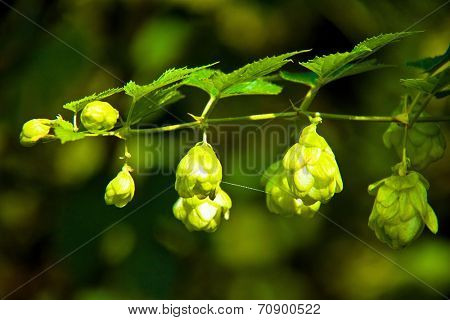 Hop flower on a branch in a plantation