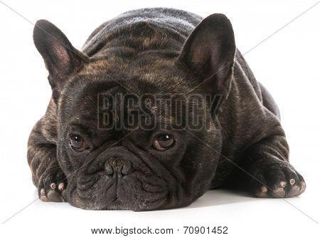 french bulldog laying down looking at viewer