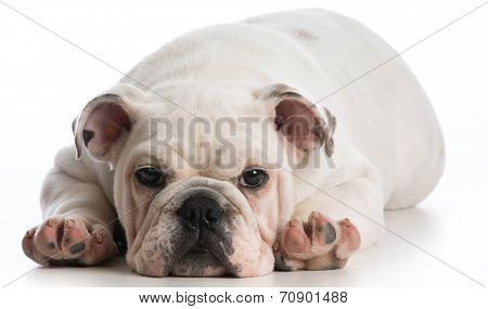 english bulldog puppy laying down looking at viewer on white background