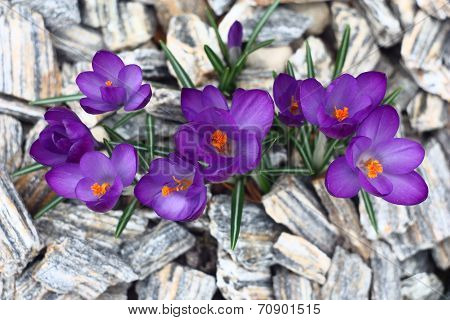 Crocuses,the top view.