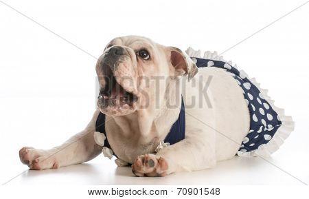 english bulldog puppy wearing bathing suit isolated on white