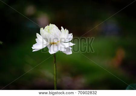 White lotus flower in the rain