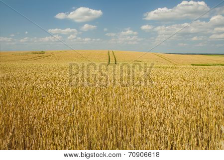 Wheat Field Horizont