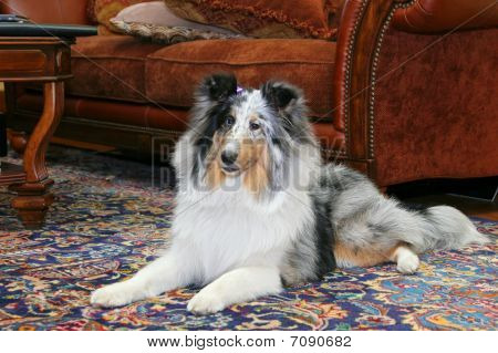 Sheltie Indoors