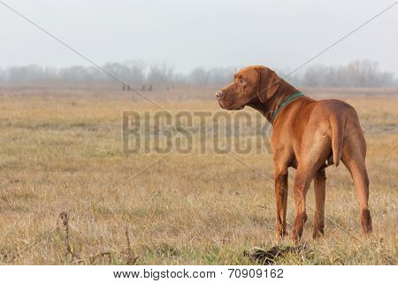 Hungarian Vizsla on hunting