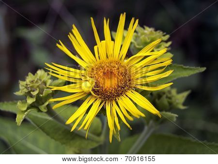 Wild Yellow Flower With Small Spider