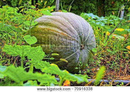 Pumpkin In Kitchen Garden