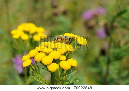 Bee On Yellow Flowers Of Tansy