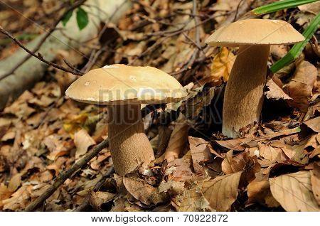 Mushrooms: Boletus Edulis, Known As The Porcini, Penny Bun, Porcino Or Cep