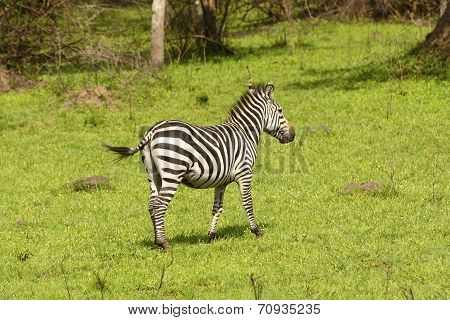 Burchell's Zebra In A Meadow