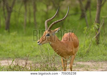 Head View Of An Impala