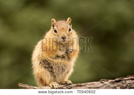 Cute Chipmunk Well Fed On Nuts And Seeds