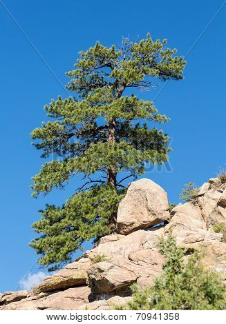 Lone Ponderosa Pine At Turtle Rocks Colorado