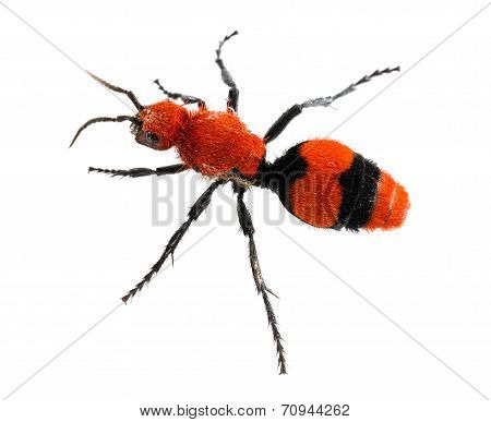 Cow Killer Or Velvet Ant In Isolated Macro