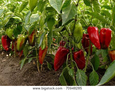 sweet peppers growing in the garden