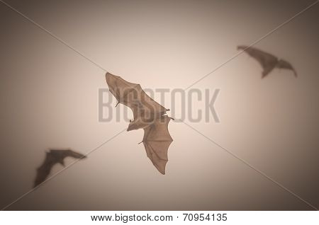 Fruit bats in flight