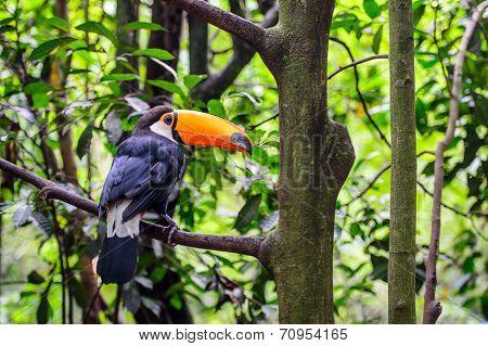 Toucan, National Park Iguazu, Brazil