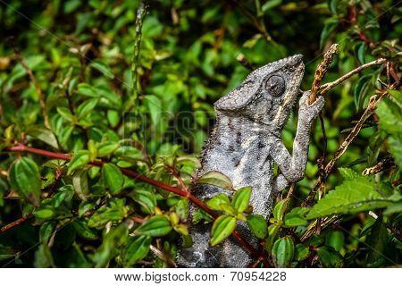 Grey chameleon