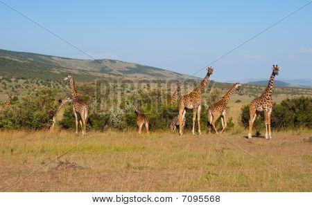 Giraffes In Masai Mara, Kenya