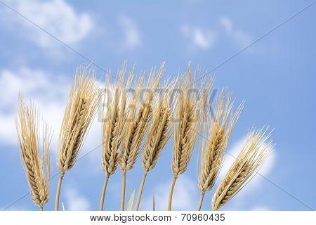 Lined barley