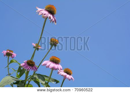 Several echinacea flowers