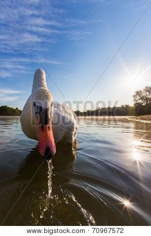 Mute swan on a lake close up at first light