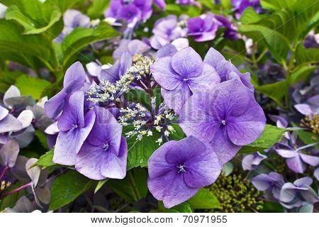 Blue hyrdangea flowers.