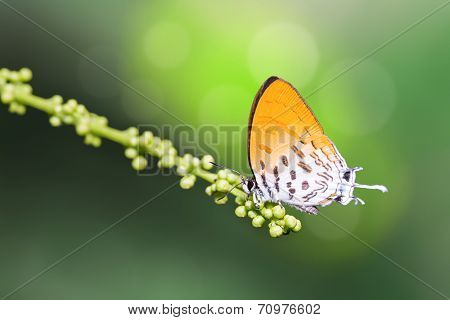 Common Posy Butterfly