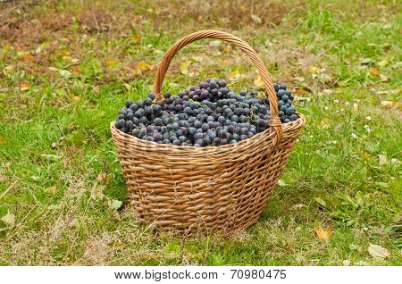 Wine Grapes In Basket