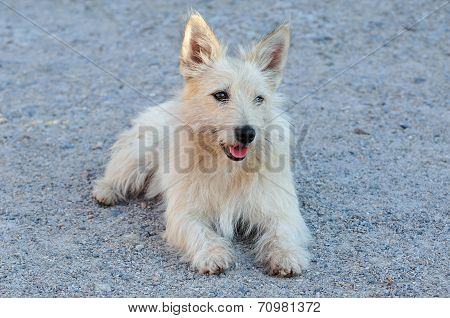 Mongrel dog resembling the breed Cairn Terrier.