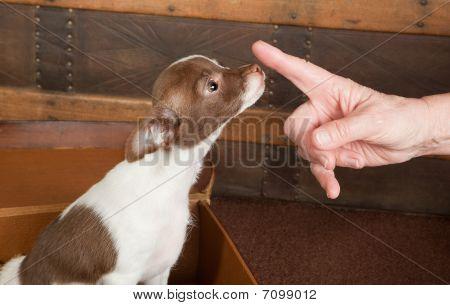 Obediente cachorro Chihuahua