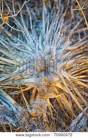 Dead Yucca