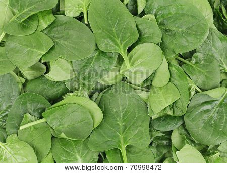 Close up of green spinach.