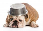 picture of bulldog  - hungry dog  - JPG