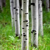 stock photo of birching  - Detail of several aspen birch trees with green summer leaves - JPG